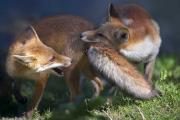 Лисички играют