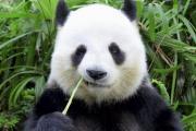 Хорошие новости: панды не исчезнут!