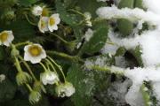 Майские заморозки значительно снизят урожай ягод